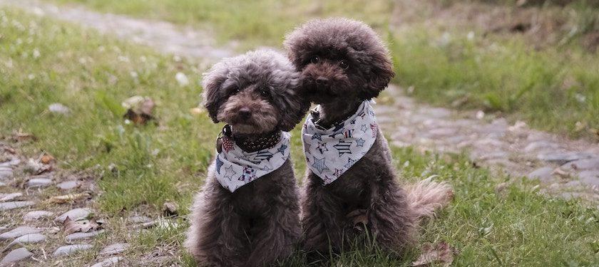 Pet Insurance for Poodles