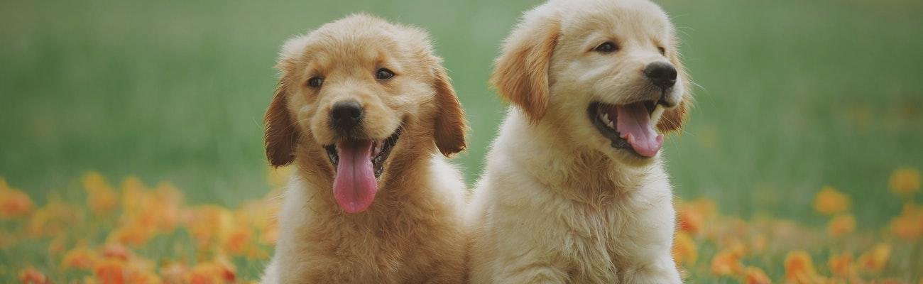 Pet Insurance for Golden Retrievers